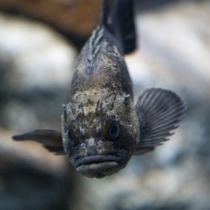 Rockfish.