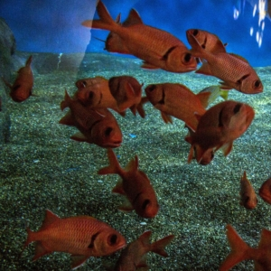 red soldier fish