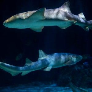 Nurse sharks.