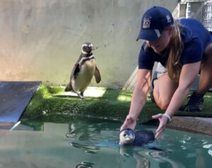 penguin swims with keeper