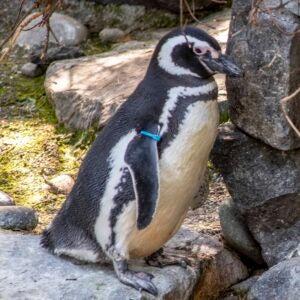 blue the penguin