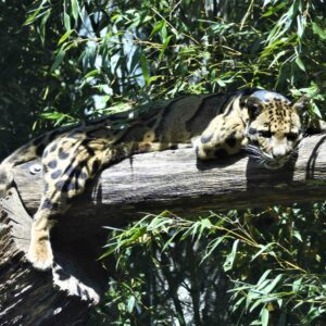clouded leopard Chee Wit in bamboo