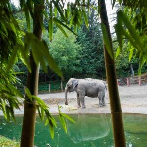 elephant Suki through golden vivax bamboo