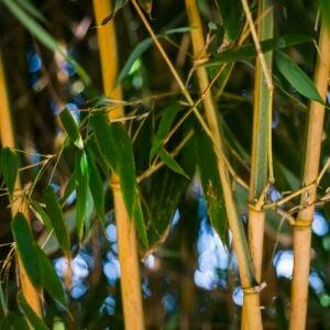 koi bamboo