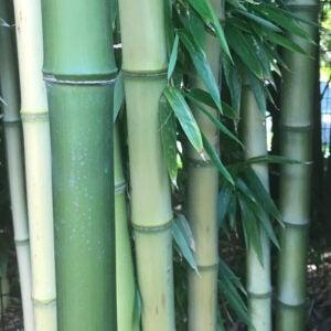 nude sheath bamboo