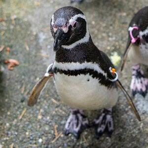 Myrtle the penguin