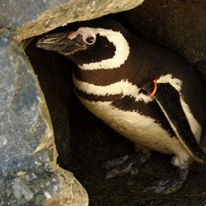 Orange the penguin