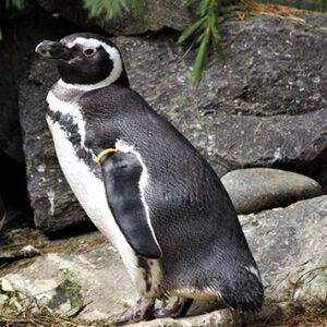 Yellow the penguin