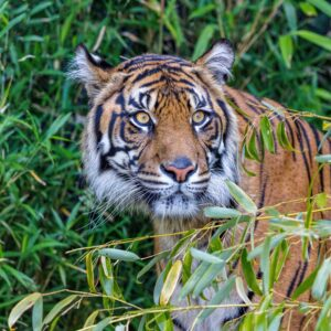 tiger Kali in bamboo