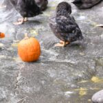 puffins and pumpkins